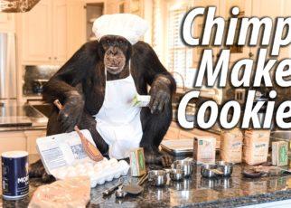 yt 64782 Chimps Make Cookies Myrtle Beach Safari 322x230 - Chimps Make Cookies | Myrtle Beach Safari